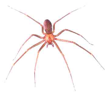 brown-recluse-spider-photo-13