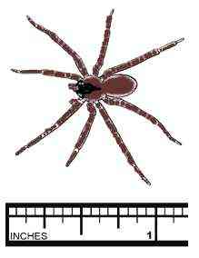 brown-recluse-spider-photo-19