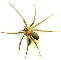 brown recluse spider photo